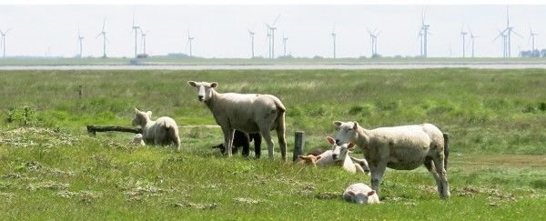 Lambs and wind turbines Husum Germany